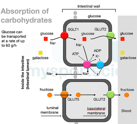 absortion of carbohydrates
